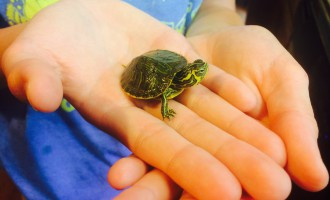 "SMALL VICTORIES: Appalachian Wildlife Refuge hopes to set up a ""wildlife 911"" office and full-service rehabilitation center to aid injured and abandoned wild animals found in Western North Carolina. Nearly 1,500 such cases were reported to the nonprofit in 2015. Many of the animals are released after receiving care, though this non-native yellow bellied slider hatchling was adopted."