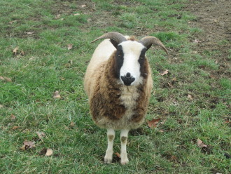 COAT OF MANY COLORS: Jacob sheep have finer coats than many primitive sheep breeds, making them an ideal choice for farmers looking for a hardy, easy-to-keep fiber animal. Photo courtesy of Elizabeth Strub of Hobbyknob Farm