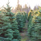 OH TANNENBAUM: While growers say the 10-year process of nurturing a conifer from seedling to full-grown Christmas tree requires the application of synthetic pesticides and herbicides, the total amount of such products used in North Carolina's Christmas tree industry has decreased almost 75 percent over the past dozen years, according to agents with the N.C. Cooperative Extension.